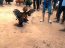 Trường gà bủa vây vùng ven