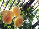 Ngắm ban công nhỏ xinh đầy hoa hồng của bà mẹ Hà Nội
