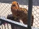 Nhân viên sở thú Trung Quốc bị cọp nuôi từ bé vồ chết