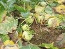 Nông sản rớt giá thê thảm, bán 1kg rau không mua nổi ly trà đá