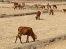 Đất nông nghiệp bỏ hoang vì bị cắt nước