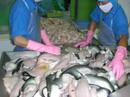 Gần 600 tỉ đồng đầu tư sản xuất cá tra giống chất lượng cao cho ĐBSCL