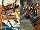 """Giết hổ Sumatra vì tưởng là """"kẻ biến hình"""""""