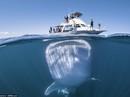 """Độc đáo hình ảnh cá nhám voi """"đội"""" thuyền trên đầu"""