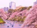 Những nguyên tắc cần biết khi đến Nhật Bản ngắm anh đào