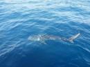Ngư dân Phú Quốc phát hiện cá nhám voi bơi lượn lờ trên biển