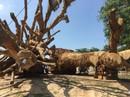 """Cận cảnh 3 cây """"quái thú"""" bị CSGT Thừa Thiên- Huế bắt giữ"""