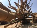 """3 cây """"quái thú"""" xuất phát từ 3 huyện của Đắk Lắk"""