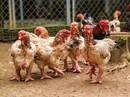 Thụ tinh nhân tạo cho... gà