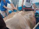 """Ngư dân Bình Thuận câu được cá ó sao """"khủng"""" hơn 120 kg"""