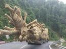 """Vụ cây """"khủng"""" lọt qua nhiều tỉnh: Hoà cả làng?"""