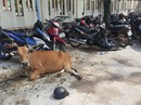 """Công an huyện Phú Quốc """"tạm giam""""... 2 con bò"""