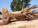 """Vụ vận chuyển cây """"quái thú"""": Chủ cây nhớ đường vào nơi khai thác"""