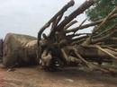 """Xử phạt chủ gốc cây """"quái thú"""" vì thủ tục không đầy đủ"""