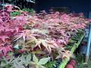 Độc nhất Việt Nam: Người sở hữu hàng ngàn cây phong lá đỏ
