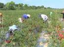 Thuê dân trồng ớt rồi bỏ chạy