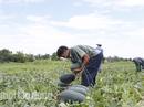 """Quảng Nam kêu gọi công viên chức """"giải cứu"""" 1.300 tấn dưa hấu"""