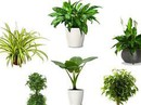 4 loại cây lọc không khí nên trồng trong nhà