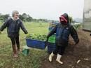 Tiêu chuẩn quốc gia về nông nghiệp hữu cơ: Vẫn còn trên giấy!