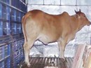 Trộm bò đang hoành hành ở miền Tây