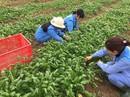 Đưa thực tập sinh sang Nhật Bản làm việc ở lĩnh vực nông nghiệp