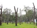 Cây xanh chết khô ở Công viên Gia Định