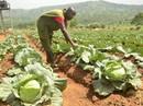 Nông nghiệp hữu cơ tạo việc làm lành mạnh