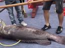 """Trung Quốc: Xẻ thịt """"Vua cá lạ"""" giá gần 1 tỉ để lấy hên"""