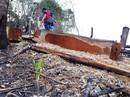 """""""Thảm sát"""" rừng tự nhiên để... trồng keo"""