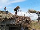 Nông dân trồng mía lỗ nặng