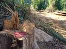 Bắt giám đốc doanh nghiệp lợi dụng khai thác gỗ để phá rừng tự nhiên