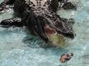 """Cá sấu """"huyền thoại"""""""