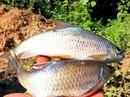 Cá sỉnh Mường Lò