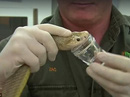 Cận cảnh rắn Taipan có nọc độc cắn một nhát chết 100 người