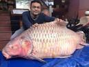 """Đại gia """"săn"""" cá hô từ Campuchia, Lào, Thái..."""