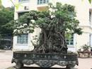 Đổi 8 lô đất ở Thủ đô lấy cây sanh cổ nhất châu Á
