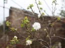 Vườn mai trắng độc đáo hiếm có ở Hà Nội