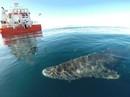 """""""Lão"""" cá mập sống tới 272 năm"""
