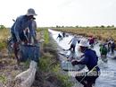 Cận Tết, về Cà Mau xem người dân quậy bùn bắt tôm càng xanh