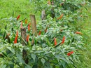 Trồng ớt trái vụ đón Tết, nông dân thu gần 1 triệu đồng mỗi ngày