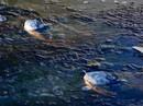 Mỹ: Đàn cá sấu bị đóng băng, vẫn kịp chĩa mũi lên trời