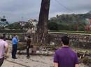 Bị cành cây gạo rơi trúng, nam thanh niên đang đi bộ tử vong tại chỗ