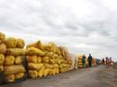 ĐBSCL: Giá lúa rớt thê thảm