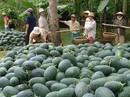 Trung Quốc tự trồng dưa hấu quy mô lớn