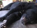 4 con gấu giao hộ cá thể nuôi chết bất thường trong vòng 1 tuần