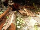 """Thêm một khu rừng gỗ quý bị """"lâm tặc"""" đốn hạ ở Quảng Bình"""