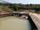Khánh Hòa: Heo chết thả đầy hồ