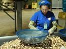 """Ngành điều bất ngờ về """"con mọt"""" khiến nguyên liệu bị kẹt tại cảng"""