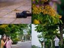 Rực rỡ sắc vàng giáng hương trên phố biển Sầm Sơn