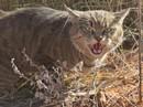 Úc lên kế hoạch giết 2 triệu con mèo hoang